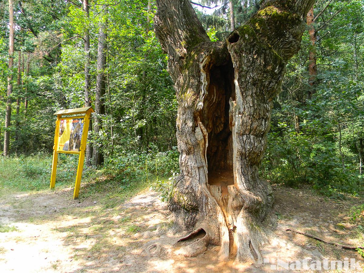 Беловежская пуща, Белавежская пушча, дуб, лес, пешие маршруты по пуще