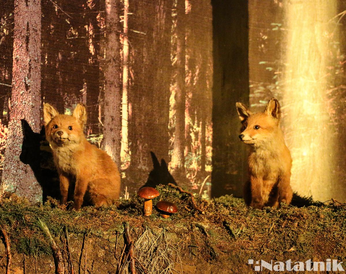 Беловежская пуща, Белавежская пушча, музей природы, музей в пуще, Белавежа, Польша, лисички