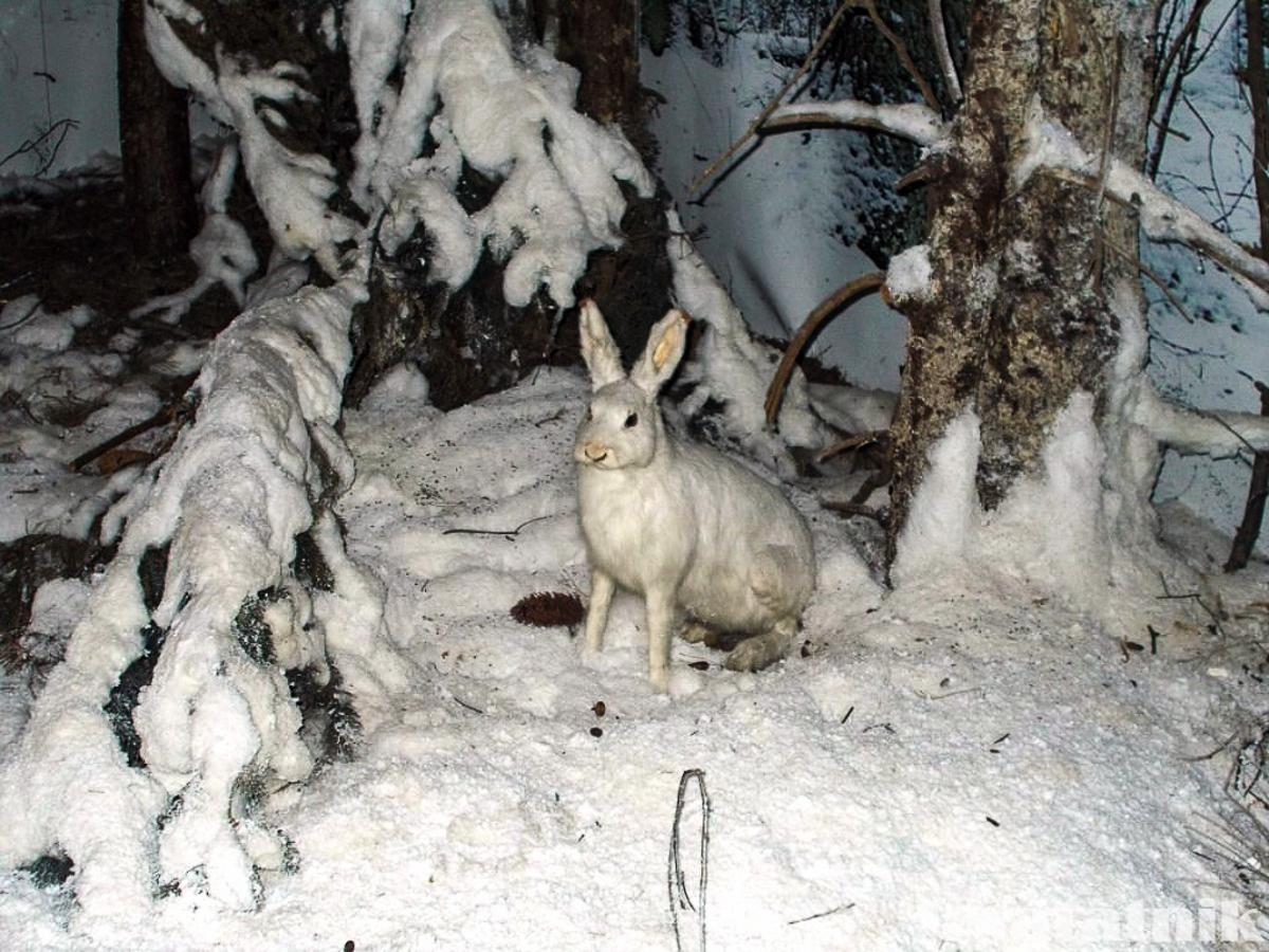 Беловежская пуща, Белавежская пушча, музей природы, музей в пуще, Беларусь, заяц